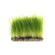 Sprouts & Wheatgrass