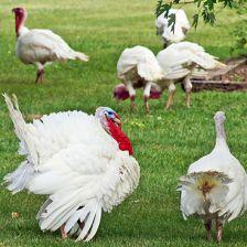 Koch's Turkey