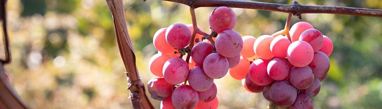 Buzzard Crest Vineyards