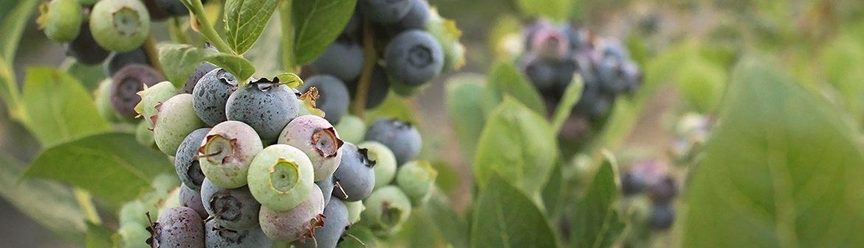 California Giant Berry Farms