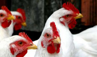 Senat Poultry