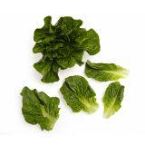 Baby Green Romaine Lettuce