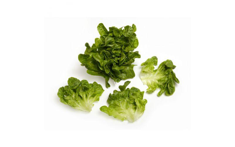 Baby Green Oak Lettuce