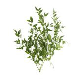 Decorative Ruscus Leaves