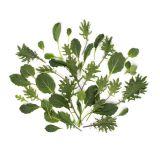 Organic Green Baby Kale