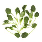 California Flat Leaf Spinach