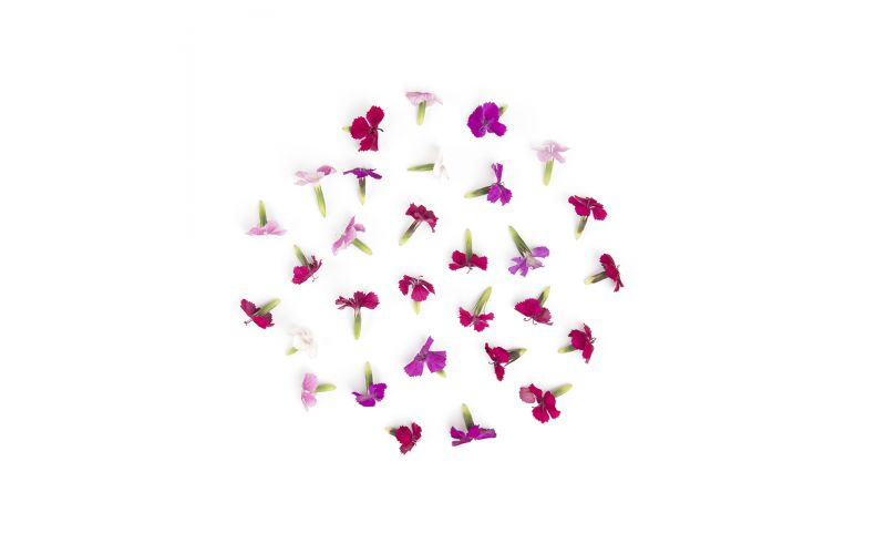 Micro Dianthus