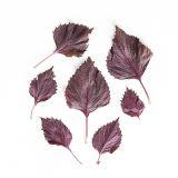 Purple Shiso Leaves