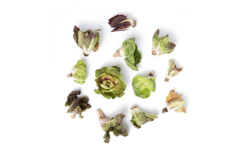 Italian Grumolo Chicory