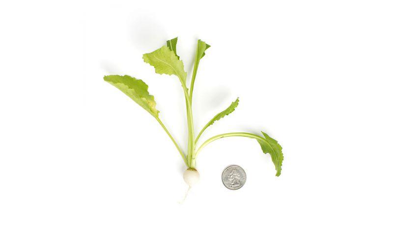 Tiny Turnips